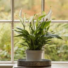 large houseplants buy indoor plants by waitrose garden