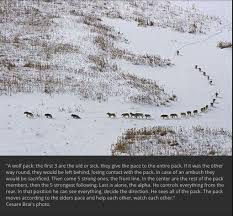 photo of a wolf pack explains wolf behavior fiction