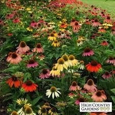 echinacea flower cheyenne spirit coneflower plant echinacea cheyenne spirit plant