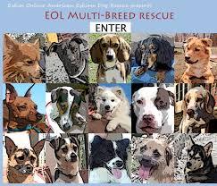american eskimo dog breeders new england eskies online american eskimo dog rescue presents eol multi breed