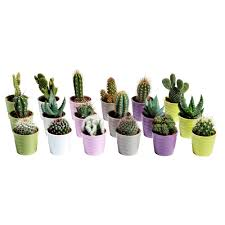 cactaceae potted plant with pot cactus assorted 6 cm ikea