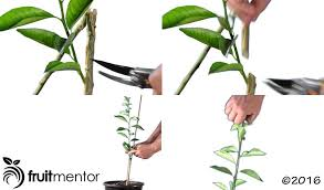 grafting orange trees how to graft a tree by t budding