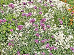 how to grow cleome spider flowers