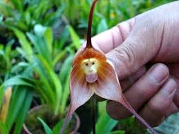 monkey orchid and 5 other amazing animal orchids featured creature
