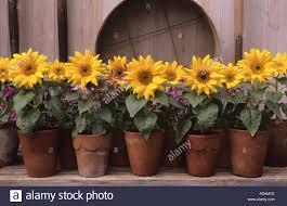 miniature dwarf sunflowers in terracotta pots diascia u0027lilac