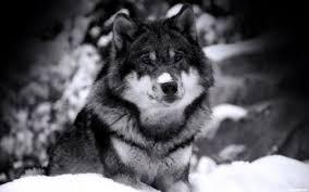 Meme Wolf - create meme wolf