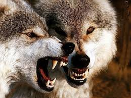 Mad Wolf Meme - the 25 best snarling wolf ideas on pinterest wolf growling