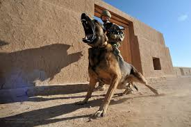 belgian shepherd malinois military the world u0027s best photos of british and mwd flickr hive mind