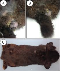 rabbits unilateral perineal urinary bladder hernia in a high