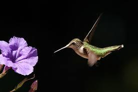 Hummingbird On A Flower - hummingbirds student success story photoclasses com