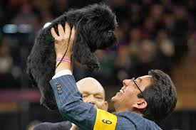 affenpinscher texas banana joe u0027s westminster dog show win set off a frenzy for