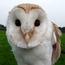 Barn Owl Photography White Owl Photography During Daylight Free Image Peakpx
