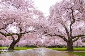 seattle of washington cherry trees equal motion