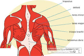 Anatomy Of Human Back Muscles Muscle Archives Page 8 Of 36 Human Anatomy Chart