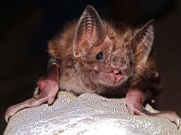 vampire bats could soon swarm to the united states popular science