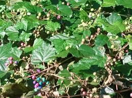 native georgia plants possum grape u2013 identification walter reeves the georgia gardener