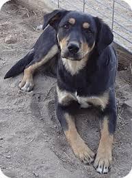 australian shepherd mix puppies for sale lexi adopted puppy goodland ks australian shepherd