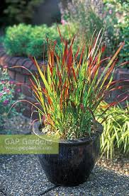 gap gardens imperata cylindrica baron japanese blood