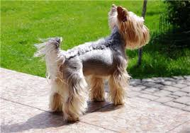 yorkie hairstyles photo gallery pictures of yorkshire terrier hairstyles 1001doggy com
