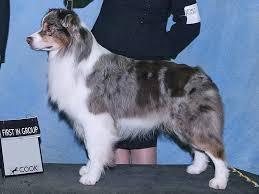 australian shepherd vs brittany easiest to train dog spotters
