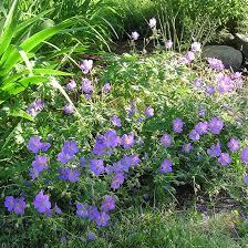 fleurs vivaces rustiques geranium vivace johnson u0027s blue un couvre sol à fleurs bleues