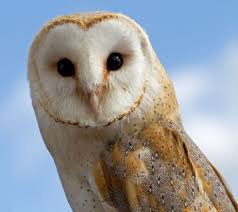 What Does A Barn Owl Look Like 18 Owl Species With Irresistible Faces Mnn Mother Nature Network
