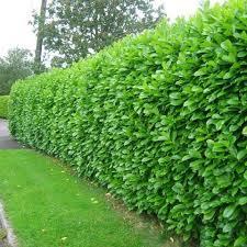 best 25 evergreen trees ideas on pinterest evergreen trees
