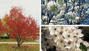 dogwood vs bradford pear trees mytractorforum the