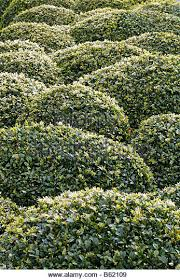 English Box Topiary - topiary shape stock photos u0026 topiary shape stock images alamy
