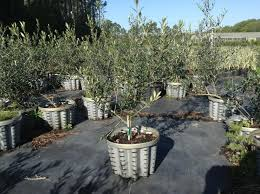 evergreen trees for sale at chris and s plant farm melbourne