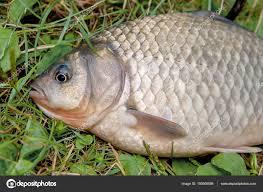 freshwater fish one crucian fish on green grass catching freshwater fish on nat