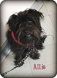 affenpinscher puppies for sale in texas allie in dallas adopted adopted dog austin tx miniature