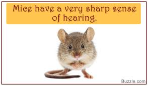 Are Mice Blind Captivating Facts About Mice That Will Leave You Amazed