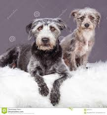 Furry Blanket Scruffy Dog Laying On Grey Fur Blanket Stock Photo Image 59801725