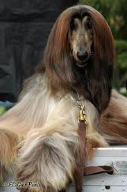 afghan hound judging list 225 best images about woman u0027s best friend on pinterest poodles
