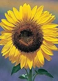 sunflower seed packets burpee 57745 sunflower mammoth seed packet