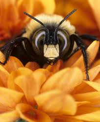 bumblebees taking a nosedive in north america