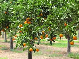 how to avoid yellow leaves on citrus trees sumogardener
