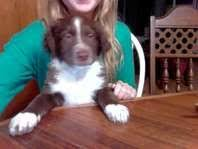 australian shepherd ksl corbie border collie mix puppy for sale in strasburg pa dogs