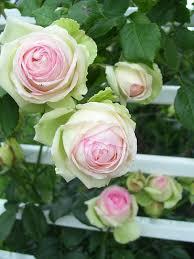 Fragrant Rose Plants - 25 gorgeous climbing roses ideas on pinterest flowers garden