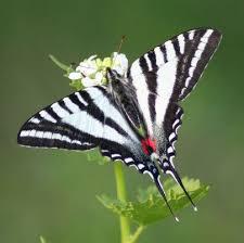 swallowtail butterflies black swallowtails tiger swallowtails