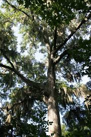 baldwin county home to 20 state chion trees with newest one in