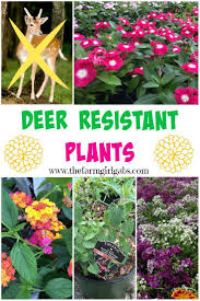 best 25 deer resistant landscaping ideas on pinterest deer