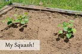 Garden Fertilizer Types - fertilizing my garden with pennington and a 50 home depot gift