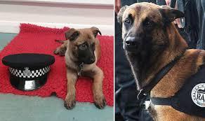 belgian shepherd killed new police puppy named diesel to honour dog killed in paris