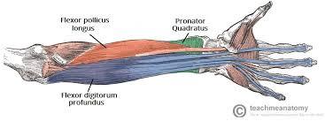 Human Anatomy Anterior Muscles Of The Anterior Forearm Flexion Pronation Teachmeanatomy