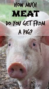 231 best pigs images on pinterest pigs farm life and farms
