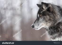 black phase grey wolf canis lupus stock photo 630052394
