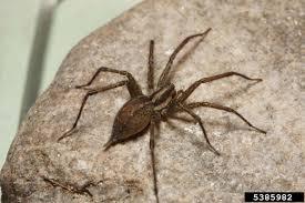 funnel web spider agelenopsis spp araneae agelenidae 5385982