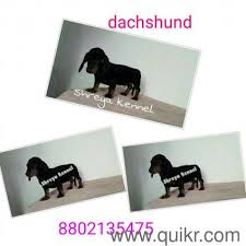 boxer dog quikr boxer female good bread in badarpur delhi pets on delhi quikr